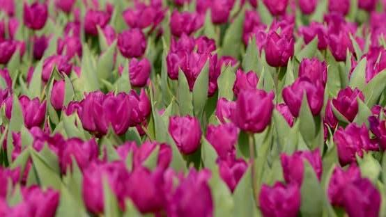 Thumbnail for Spring tulips flower