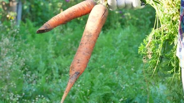 Thumbnail for Farmer Hands Holding Harvested Ripe Carrots