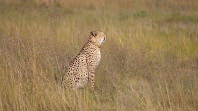 Cheetah walks to an other cheetah
