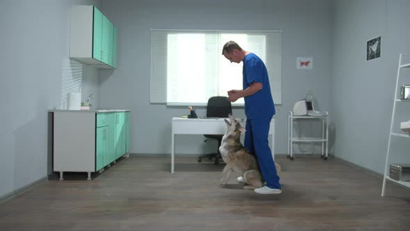 Veterinary Doctor in Uniform Trains a Husky in Cabinet
