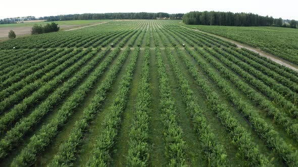 Thumbnail for Green Field of Blueberry Plantation in the Sunny Day. Blueberries Before Harvest. Drone Shot of a