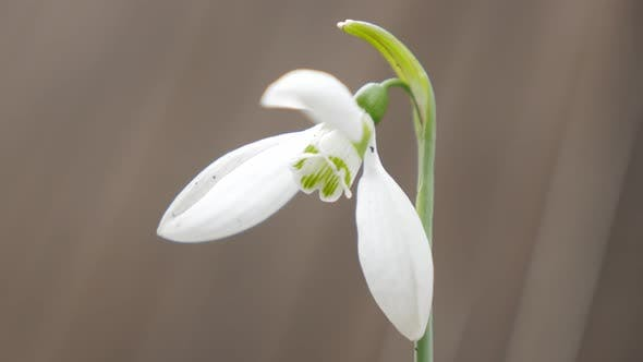 Shallow DOF lonely  snowdrop in the garden 4K 2160p UHD natural footage - Galanthus nivalis snowdrop