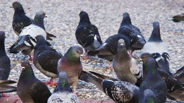 Thumbnail for Animal Bird Pigeons