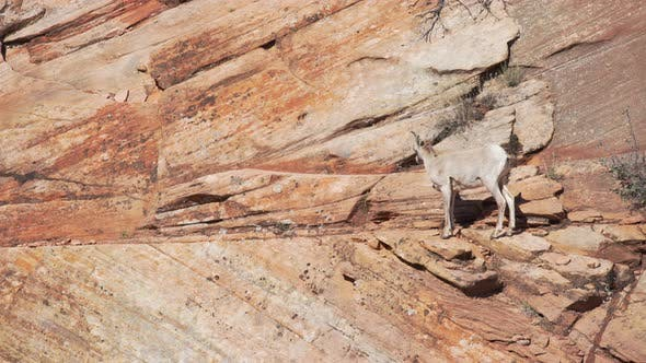 Thumbnail for Lone mountain goat grazing on red sandstone cliff in Zion National Park Utah