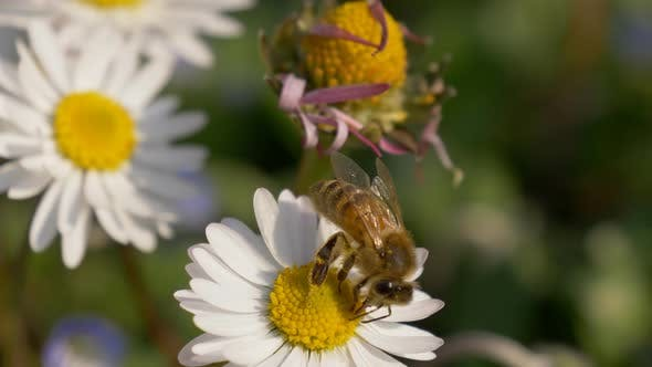Honey Bee Daisy Meadow