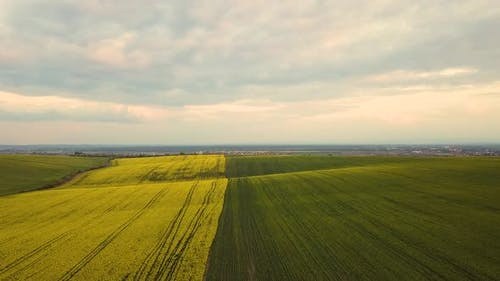 Aerial view of bright green agricultural farm field with growing rapeseed plants.