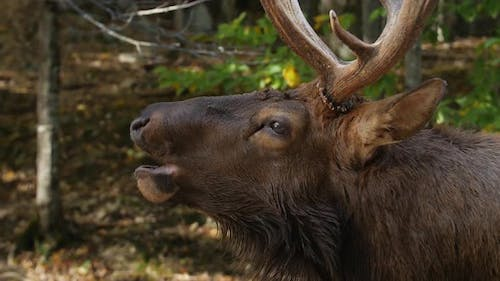 Close Up Of Large Elk With Antlers Opening Mouth