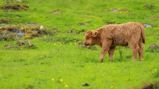 Highland Cattle Cows Graze On A Summer Pasture