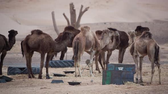 Thumbnail for Merzouga Camel 04