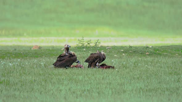 Thumbnail for Wild Vulture Herd Eating a Dead Animal Carcass