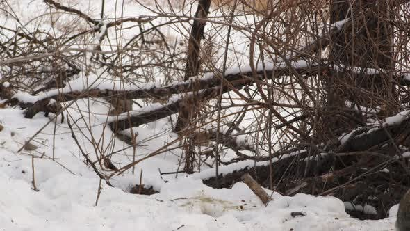 Thumbnail for Cottontail Rabbit Adult Pair Rabbits Fighting in Winter Snow Slow Motion