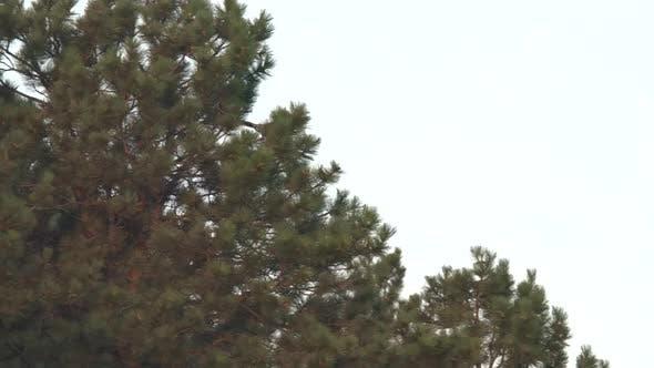 Osprey Adult Pair Flying Flight Taking Off in Summer in South Dakota