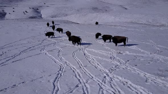 Thumbnail for Bison Adult Immature Herd Many Walking Moving in Winter in South Dakota