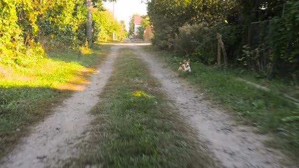Thumbnail for Jack Russell Terrier Dog Running After a Car on Ground Road