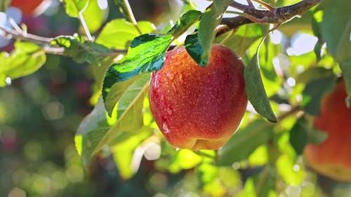 Feuchter roter Apfel in Apfelgarten