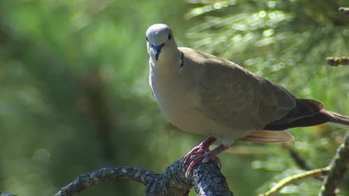 Eurasian Collared Dove Adult Lone Perched in Summer Exotic Species Invasive