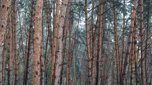 Gloomy Pine Forest During Heavy Rain Trunks and Crown Trees Through Raindrops