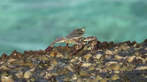 Thumbnail for Crab Sit on Coastal Stones, Between Sea Waves
