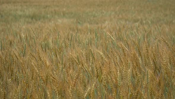 Cover Image for Yellow Wheat On Field 3