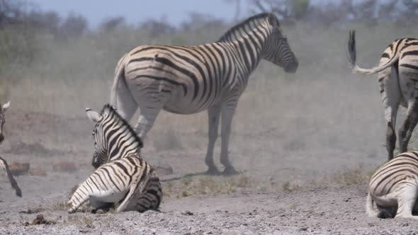 Thumbnail for Baby zebra running around a herd on a dry savanna