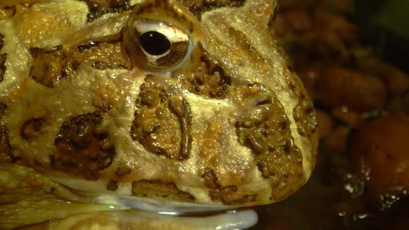 Thumbnail for Argentine Horned Frog or Pac-man Frog - Ceratophrys Ornata. Close Up. Macro Shot