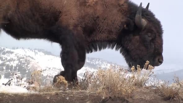 Thumbnail for Bison Lone Eating Grazing in Winter in Yellowstone National Park Wyoming