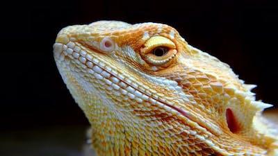 Macro Portrait of a Yellow Iguana