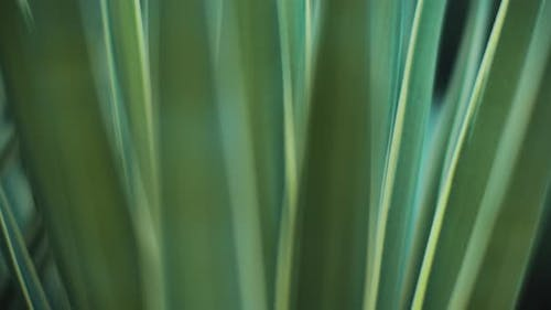 Close up of blue agave plant outside, shallow depth of field. BMPCC 4K
