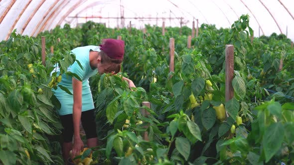 Female Farmer Picking Bell Pepper at Greenhouse