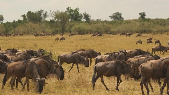 Thumbnail for Herd of gnus