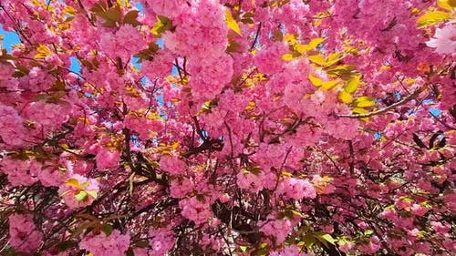 Pink Color of Spring Sakura in the National Park of Japan