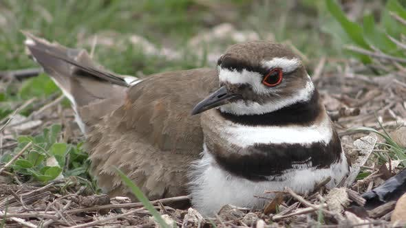 Thumbnail for Killdeer Bird Alarmed Frightened Fleeing Eggs Nest Ground Nest Sitting On