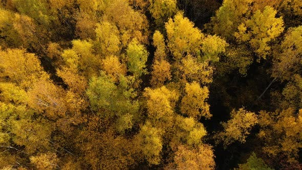 Thumbnail for Autumn Forest, Top View. Crowns of Trees with Yellow Foliage. Deciduous Forest in the Fall.