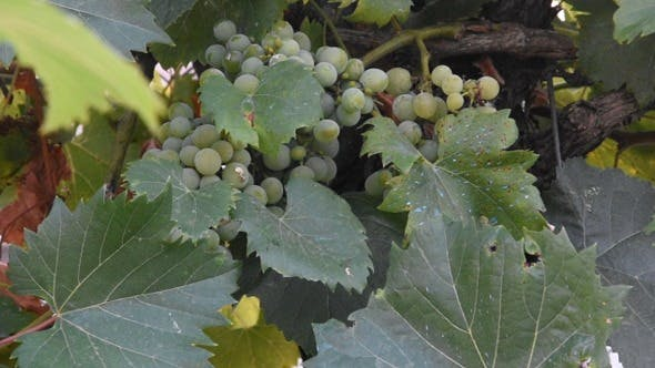 Thumbnail for Grape