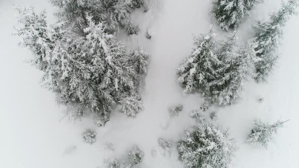 Cover Image for Winter Carpathian, Fly Over Fir Tree in the Snowstorm