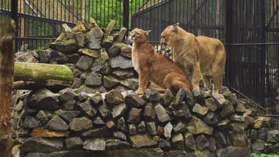 The Marriage Between The Couple Cougars
