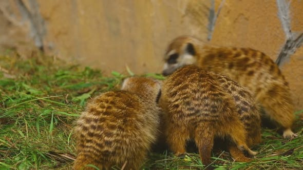 Cover Image for Meerkat Family Plays