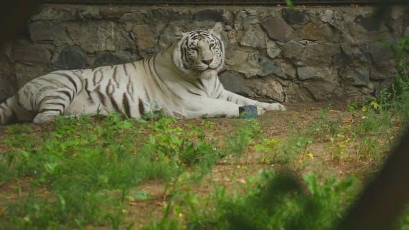 Thumbnail for White Tigress In Zoo