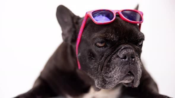 French Bulldog Wearing Pink Sunglasses on Its Head