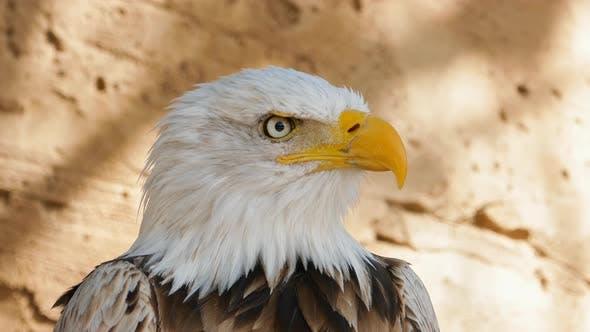 Bald Eagle Screaming Close-up