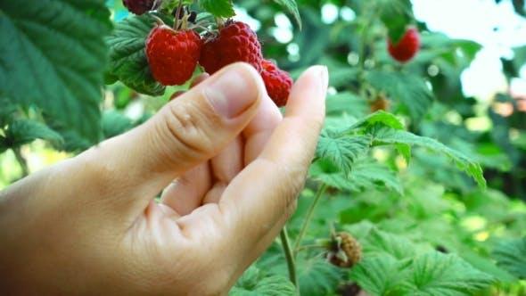 Thumbnail for Harvesting The Raspberry