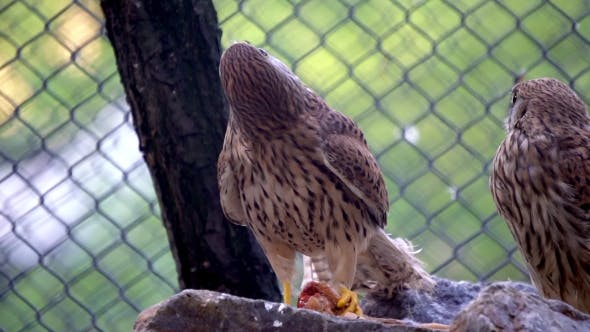 Thumbnail for Wild Falcon In The Zoo