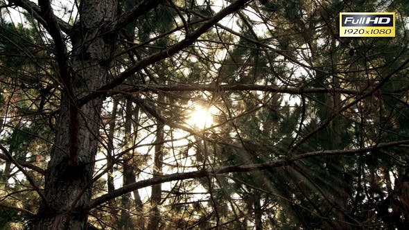 Thumbnail for Sunlight Beams through the Branches and Leaves of Tall Waving Trees.