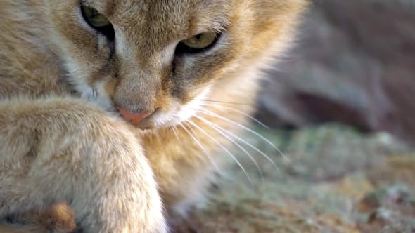 Thumbnail for Big Sand Cat In Zoo