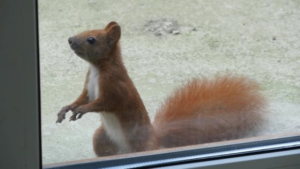 Thumbnail for Squirrel Looks Through The Window
