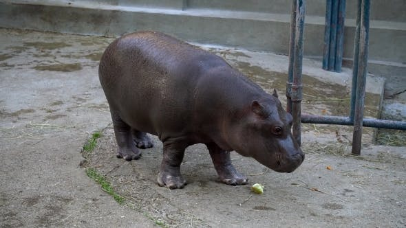 Thumbnail for A Baby Hippo Eating In Zoo