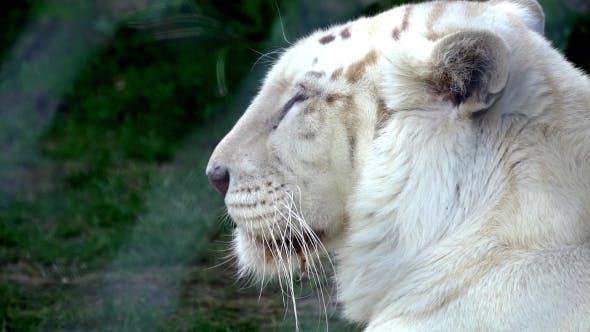 Thumbnail for White Tiger Sleeping