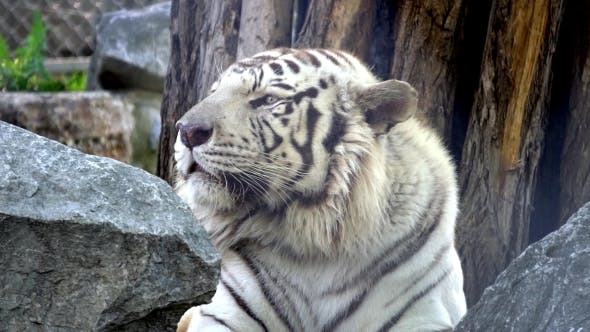 Thumbnail for Big White Tiger Resting On a Rock