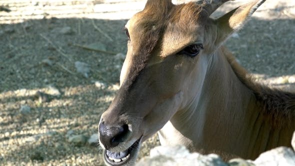 Thumbnail for Antelope Chewing Grass In Zoo