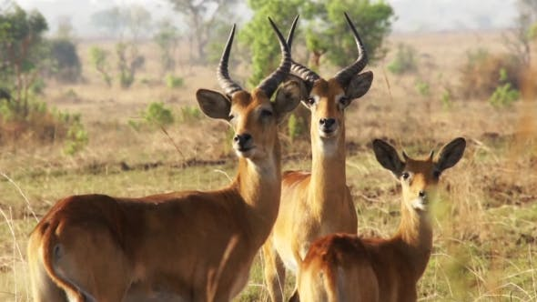 Thumbnail for Impala Ram Motionless In Africa